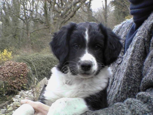 Collie cross puppy