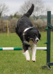 Collie enjoying dog agility class in Bath