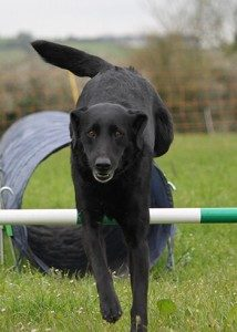 Black labrador enjoying dog agility class in Bath